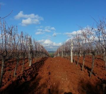 vinograd 01